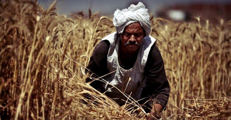 مصر وتحدياتها الاستراتيجية: القمح نموذجاً