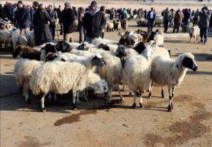 الماشية التركية